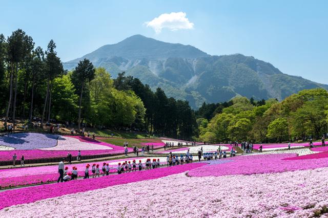 羊山公園の芝桜と武甲山(PIXTA)