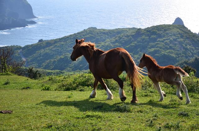隠岐島の野生馬(PIXTA)